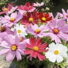 Garden Cosmos Mix 250 seeds * Easy grow * border * garden *SHIPPING FROM US* CombSH I28