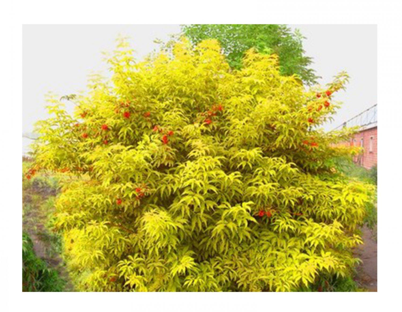50 + Red Elderberry seeds (Sambucus racemosa) Ornamental  shrub Tree *SHIPPING FROM US* CombSH I85