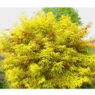 50 + Red Elderberry seeds (Sambucus racemosa) Ornamental  shrub Tree *SHIPPING FROM US* CombSH I85