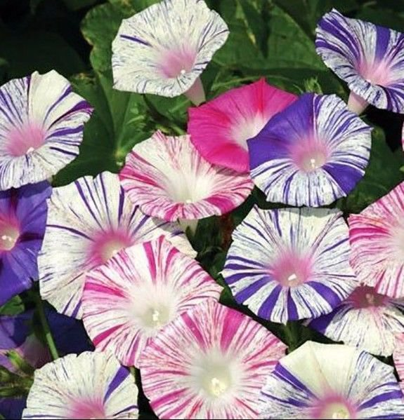 Morning Glory Harlequin mix 10 seeds * Easy Grow * *SHIPPING FROM US* CombSH B78
