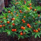 Jerusalem Cherry Solanum pseudocapsicum  25 seeds  * easy grow * *SHIPPING FROM US* CombSH B25