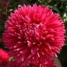 Aster seeds—Tall Double Gremlin Red 50 seeds *Cut flower*Gorgeous* *SHIPPING FROM US* CombSH D58