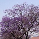 Royal Empress Tree 100 seeds Paulownia Tomentosa * Fastest Growing tree* *SHIPPING FROM US* CombSH