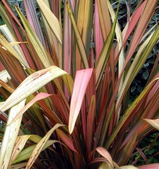 New Zealand Flax New Hybrids 10 seeds * Ornamental Grass * *SHIPPING FROM US* CombSH B21