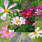 100 Cosmos SeaShells mix seeds  Cosmos bipinnatus *easy grow* exotic *SHIPPING FROM US* CombSH I38