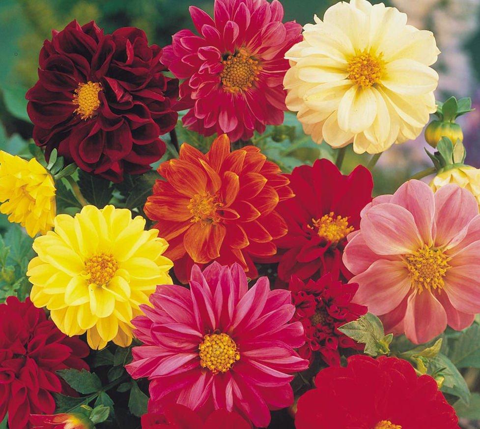 Dahlia Unwin Mix 25 seeds  * Cut Flower * Easy grow  *SHIPPING FROM US* CombSH  A52