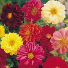 Dahlia Unwin Mix 25 seeds  * Cut Flower * Easy grow  *SHIPPING FROM US* CombSH  A52