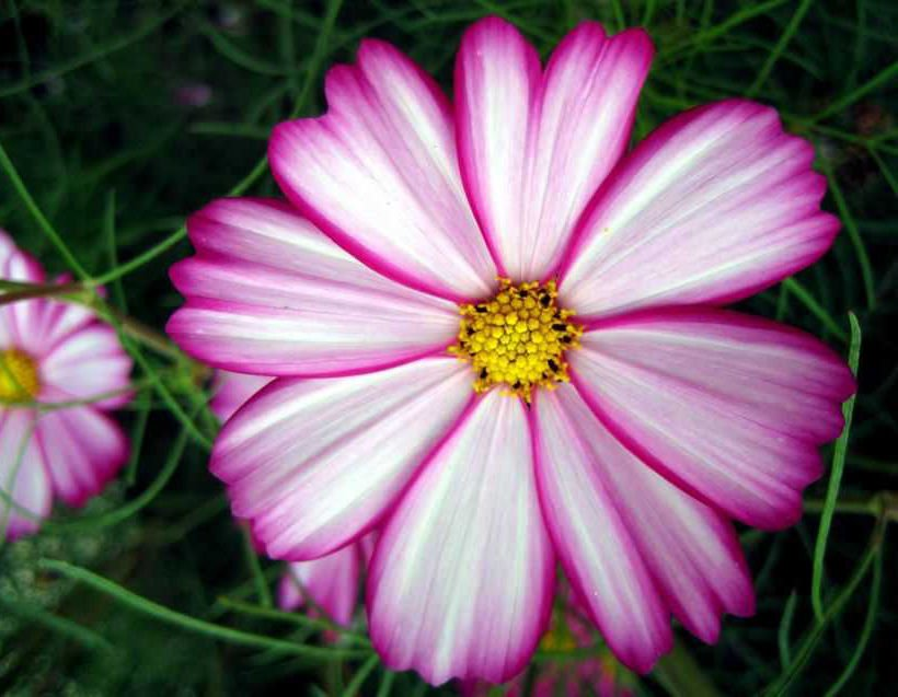100 + Cosmos candy stripe �Cosmos Bipinnatus�seeds  garden flower *SHIPPING FROM US* CombSH I58