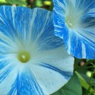 Morning Glory Flying Saucers 25 seeds Ipomoea purpurea * Huge Bloom * *SHIPPING FROM US* CombSH B74