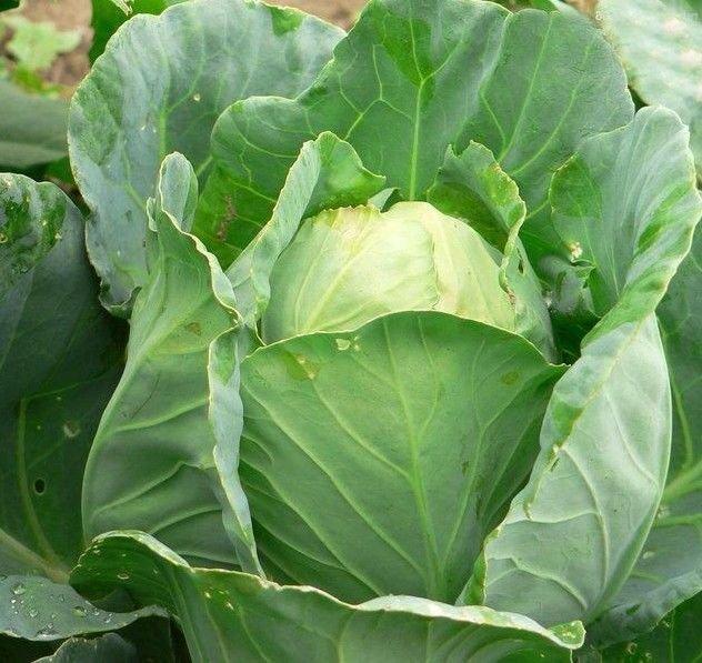 Charleston Wakefield Cabbage 500 seeds * Non GMO* ez grow * E75