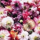Poppy Shirley double Mix 1000 seeds Papaver rhoeas * cottage garden * *SHIPPING FROM US* CombSH B87