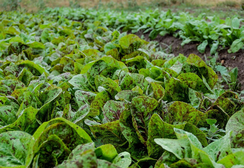 500 Freckles Romaine Lettuce seeds great 4 salad ez grow CombSH A46