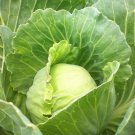 Cabbage 500 seeds  Golden Acre  * Non GMO * Heirloom * *SHIPPING FROM US* CombSH F45