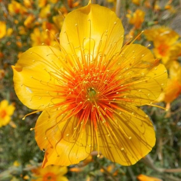 Blazing Star Mentzelia Lindleyi 300 seeds *SHIPPING FROM US* CombSH B44
