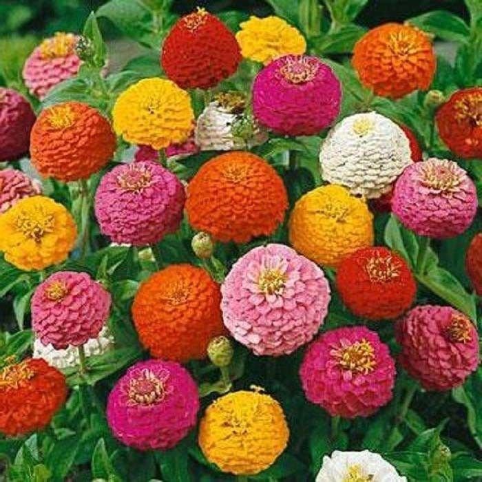 Globe Zinnia Lilliput Mix 250 seeds * Cut Flower * Beautiful * *SHIPPING FROM US* CombSH K12