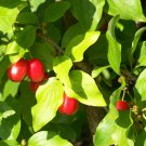 5 Cornelian Cherry seeds*Cornus mas* Ornamental Tree seeds (edible*hardy*Bonsai)
