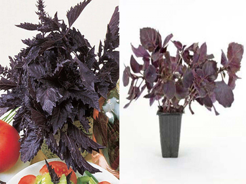 100 Purple Ruffles Basil seeds * Grow your own herb* Exotic* EZ grow * A44