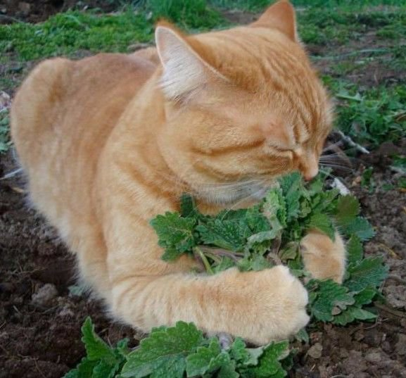Catnip 1500 seeds Nepeta Cataria * Grow your own cat treat * *SHIPPING FROM US* CombSH D74