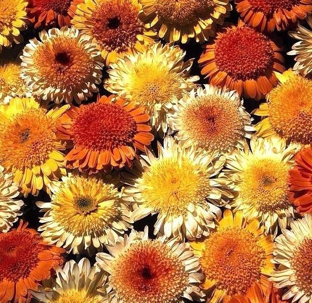 Calendula Kablouna Mix 50 seeds * unusual form* Cut flower * herbal tea * *SHIPPING FROM US* CombSH