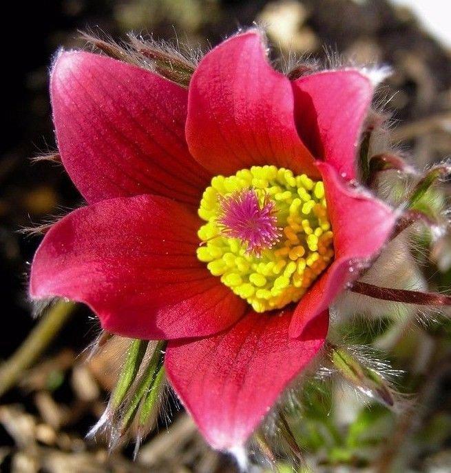 Red Pasque Flower Amenone Pulsatilla Vulgaris 25 seeds * perennial * *SHIPPING FROM US* CombSH B31