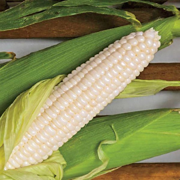 White Popcorn 50 seeds * Grow you own popcorn * Ornamental *SHIPPING FROM US* CombSH H33