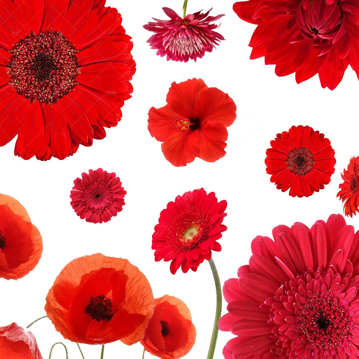 Red Color Shades Wildflowers Approximate 100 seeds *easy grow* garden *SHIPPING FROM US* CombSH B23