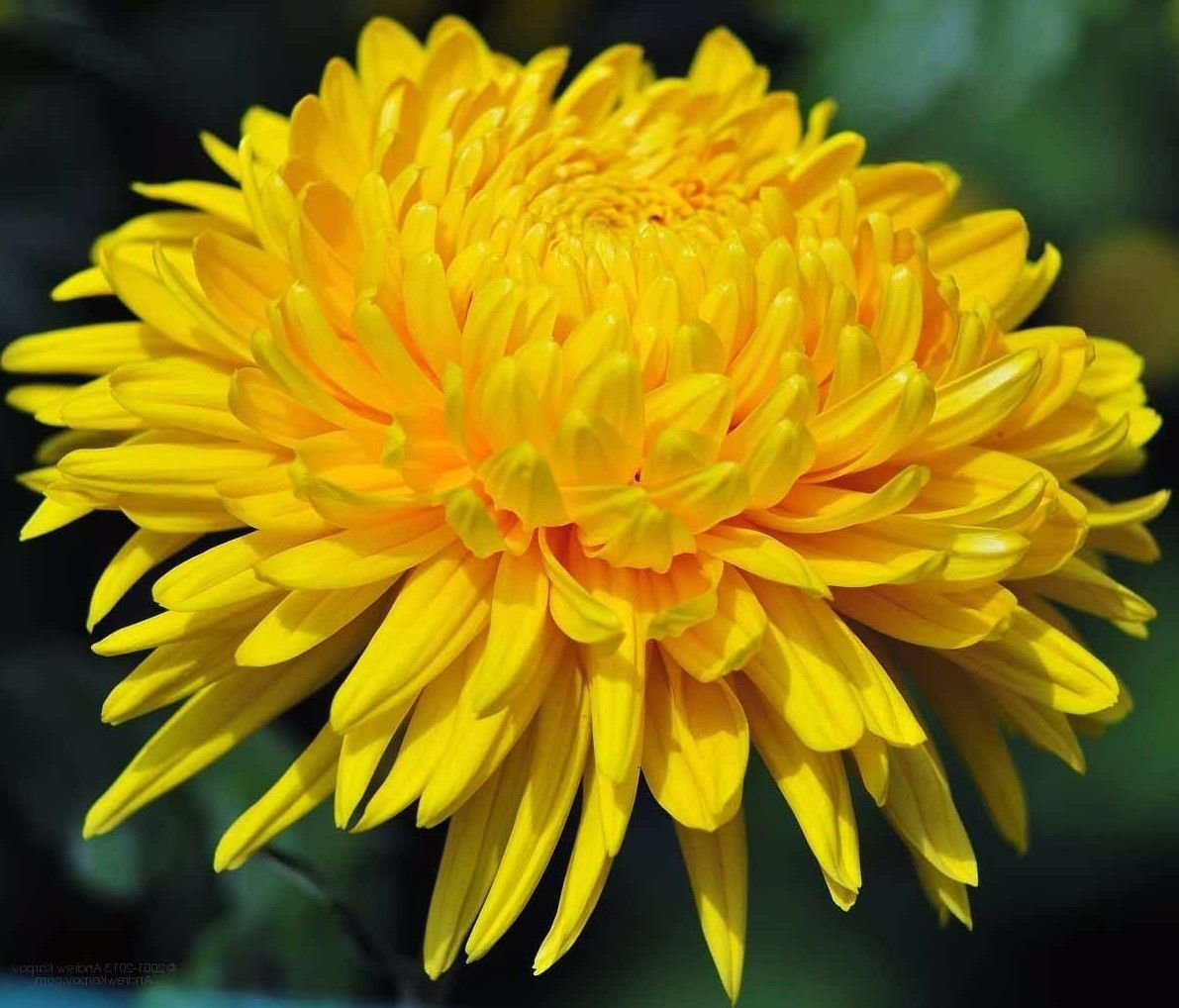 50 Aster seeds ( Paeony Duchess Yellow) * Cut Flower * easy grow *SHIPPING FROM US* CombSH D67