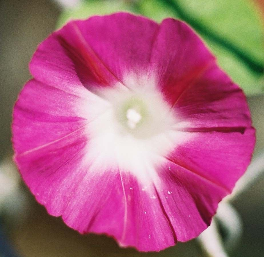 Red Scarlet O' Hara Morning Glory 100 seeds Ipomoea purpurea * Easy Grow* *SHIPPING FROM US* CombSH