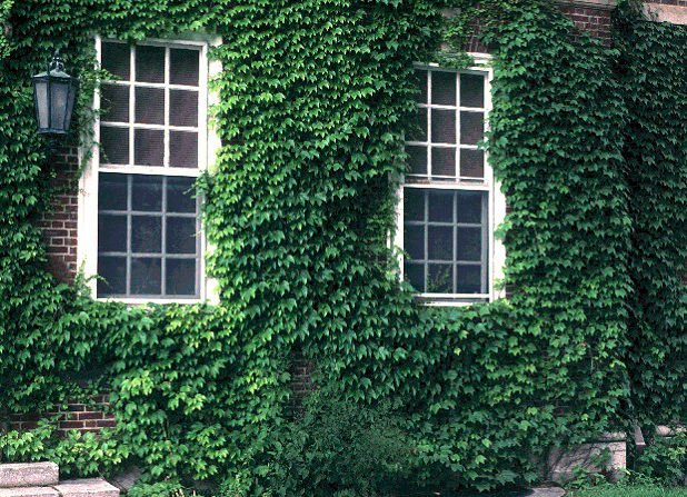 Japanese Creeper 20 seeds Japanese Ivy Parthenocissus tricuspidata *SHIPPING FROM US* CombSH M81