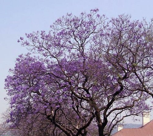 Royal Empress Paulownia Tomentosa 1000 seeds * Fastest Growing tree* *SHIPPING FROM US* CombSH