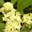 Silver Sweet Olive - Osmanthus fragrans 5 seeds fragrant *SHIPPING FROM US* CombSH K21