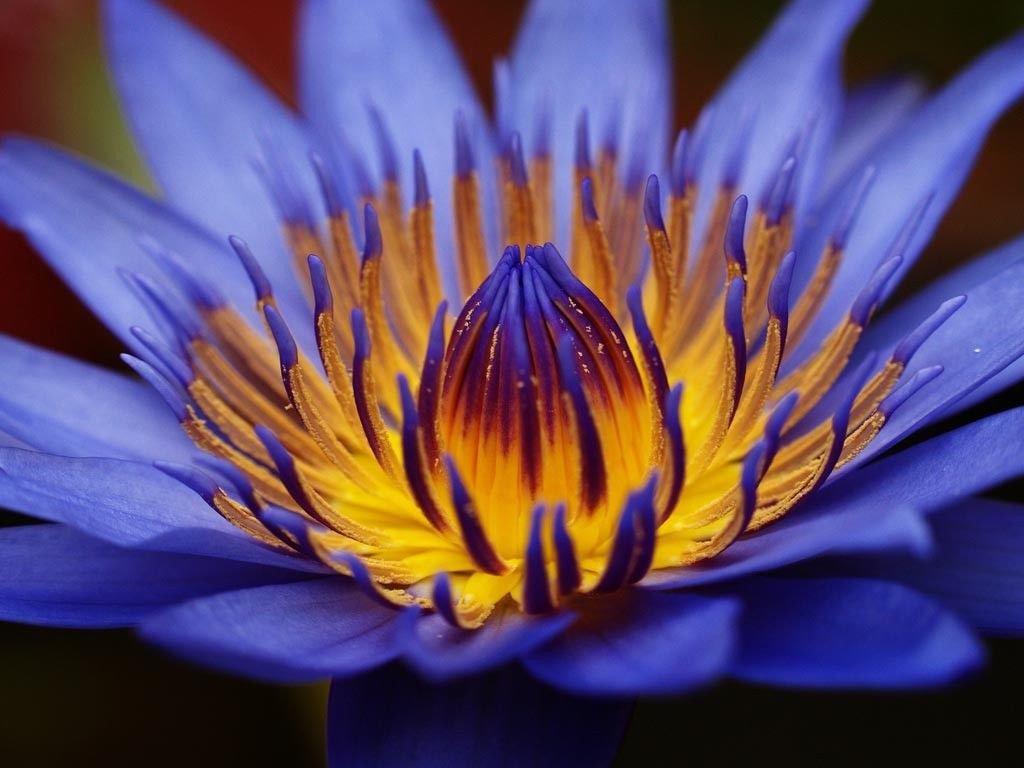 Bulk Egyptian Sacred Blue Water lily Nymphaea Caerulea 200 seeds Not lotus A58