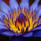 Bulk Egyptian Sacred Blue Water lily Nymphaea Caerulea 200 seeds Not lotus A58
