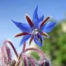 Borage 25 seeds Borago Offinicial * Herb + Ornamental palnt * *SHIPPING FROM US* CombSH B54