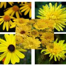 Yellow Color Shades Wild flowers Approximate 100 seeds *easy grow* garden *SHIPPING FROM US* CombSH