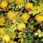 Chestnut rose 25 seeds  Rosa roxburghii  Medium Shrub Fast  *SHIPPING FROM US* CombSH M44