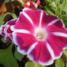 Morning Glory Rosita Ipomoea Nil 5 seeds* Easy Grow * Gorgeous * unusual *SHIPPING FROM US* CombSH