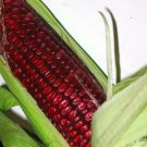 Red Popcorn 50 seeds * Grow you own popcorn * Ornamental *SHIPPING FROM US* CombSH G13