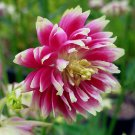 Columbine Nora Barlow  Aquilegia vulgaris 25 seeds * Unique form *SHIPPING FROM US* CombSH A66