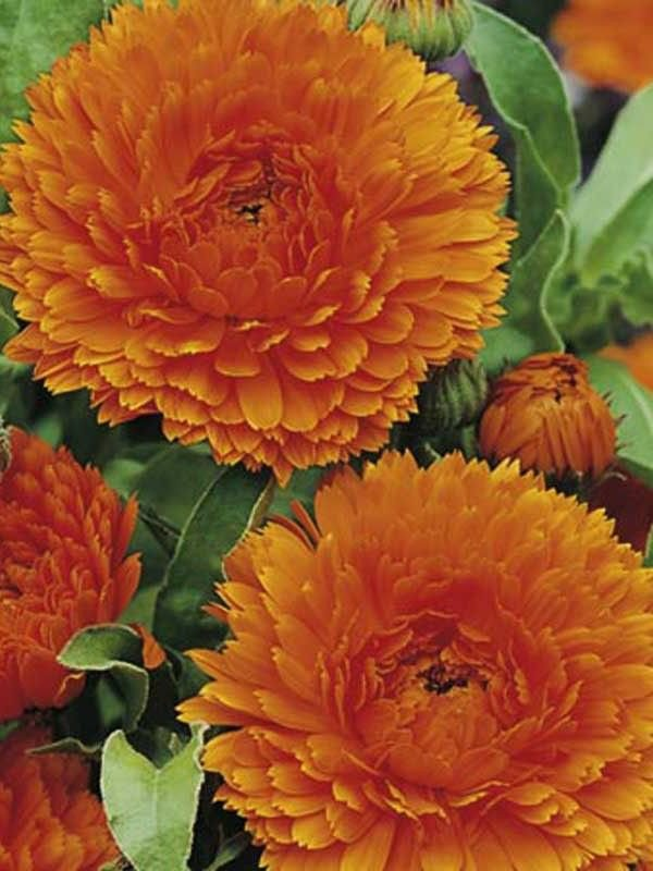Calendula Ball's Orange 250 seeds *herbal tea*Cut flower* Eye catching* *SHIPPING FROM US* CombSH