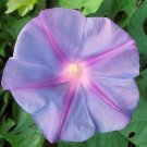 Purple Morning Glory 100 seeds Ipomoea Nil * Easy Grow * *SHIPPING FROM US* CombSH D11