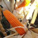 Orange Popcorn 50 seeds * Grow you own popcorn * Ornamental *SHIPPING FROM US* CombSH G14