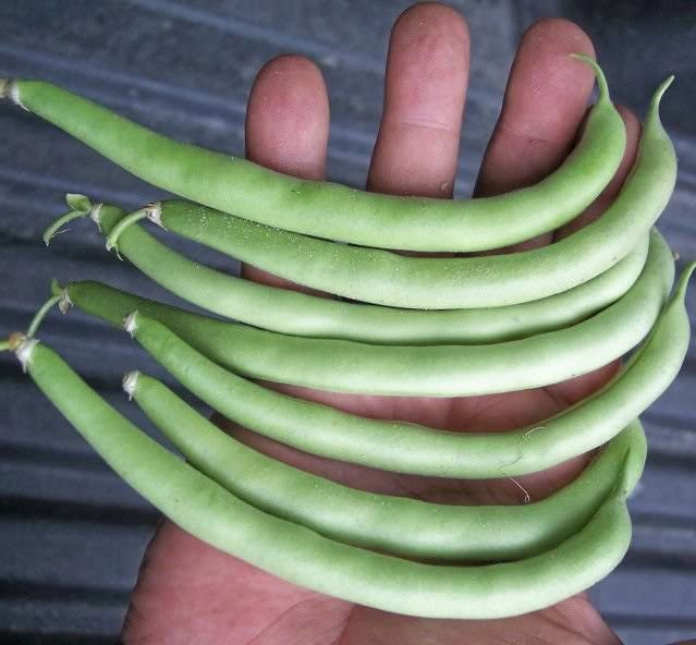 Pole bean Kentucky Wonder 50 seeds * Heirloom * Non GMO * *SHIPPING FROM US* CombSH G25