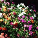 Impatiens - Mixed Colors