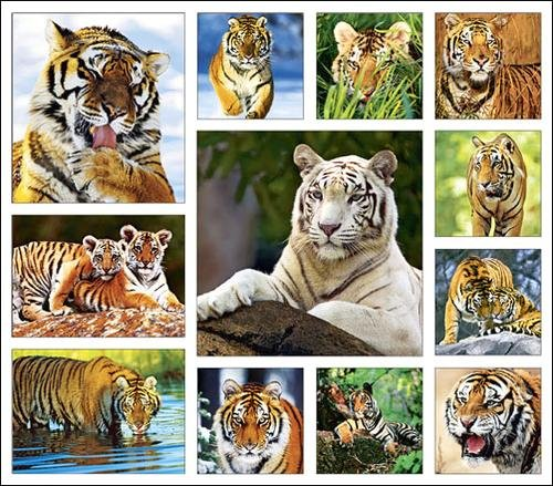 Tiger Calender and Magnets