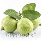 50pcs/lot Guava Seeds Delicious Tropical Fruits Plant Non Transgenic Plants