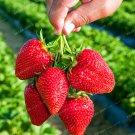 200 pcs Gaint Strawberry Seeds Big Sweet Strawberry Berry Fruit Seeds Bonsai