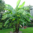 100pcs Very Rare Banana Seeds Fruit Seeds Rare Exotic Bonsai Banana Potted Gift