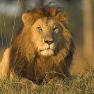 Lions Poster Photo Print 32x24