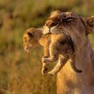Female Lion Carrying Cub Poster Photo Print 32x24
